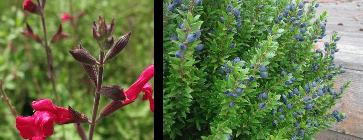 Salvia greggii mirto piante terrazzo